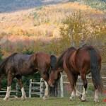 Horses-Stowe